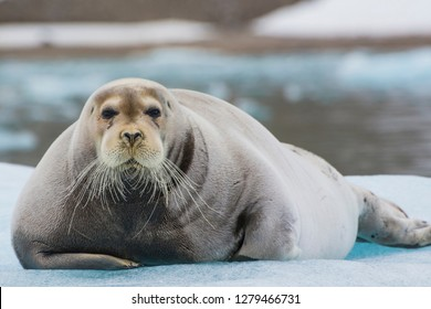 Norway. Svalbard. Krossfjord. 14th of July glacier. Bearded seal (Erignathus barbatus) on an ice floe.