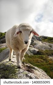 Norway white sheep in the highlands walking on granitic rocks. Western Norway. Kjerag mountain.