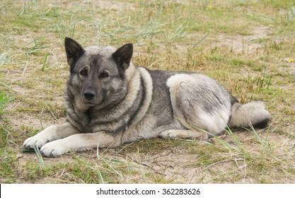 Norwegian Elkhound gray lying on the grass