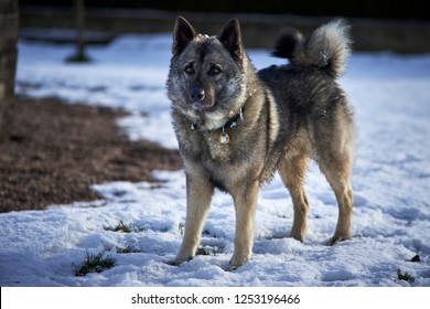 Norwegian elkhound guarding house
