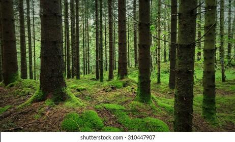 Norwegian forest