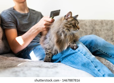 Norwegian Forest Cat Being Groomed While on Human Lap