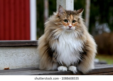 Norwegian forest cat female sitting on 	stairs outdoors