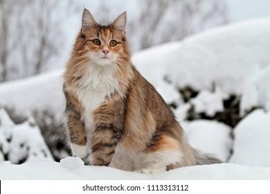 Norwegian forest cat female sitting  in white snow