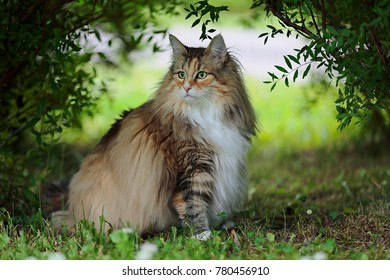 Norwegian forest cat female sitting under bushes