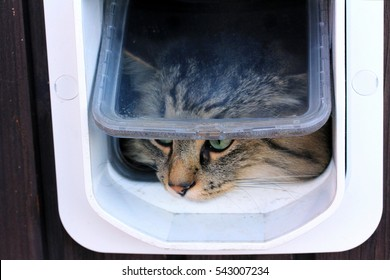 A norwegian forest cat goes through a cat flap