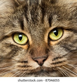 Norwegian Forest Cat with green eyes with lots of details in the eyes