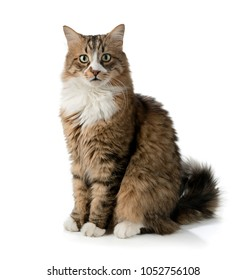 Norwegian Forest Cat Isolated