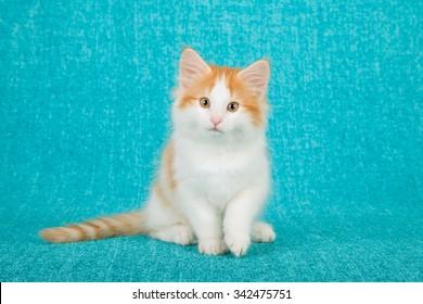 Norwegian Forest Cat kitten on blue background