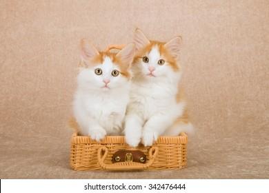 Norwegian Forest Cat kitten sitting inside miniature brown bamboo picnic basket on beige background