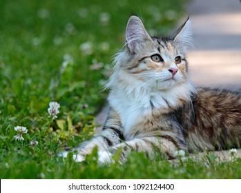 Norwegian forest cat kitten in sunny garden
