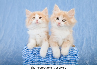 Norwegian Forest Cat kittens in blue basket