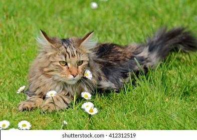 norwegian forest cat images stock photos vectors shutterstock