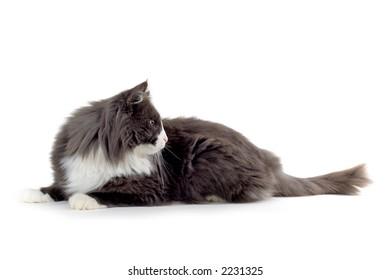 norwegian forest cat looking sidewards