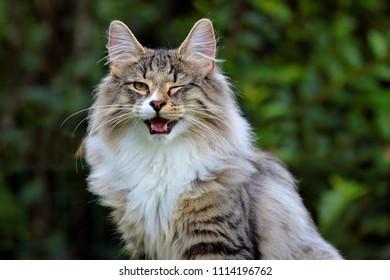 Norwegian forest cat male winking eye