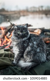 Norwegian forest cat sitting by the fire on a green blanket, looking at the camera. Alert expression. Beautiful autumn background.  Female grey fluffy cat. Beautiful eyes.