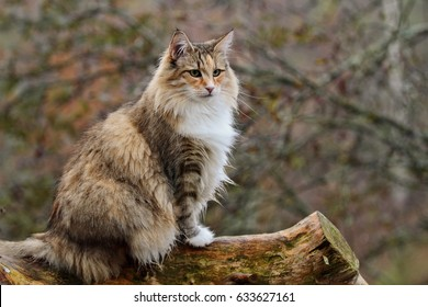 Norwegian forest cat sitting on a log