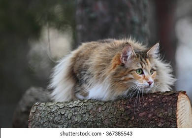Norwegian forest cat stalking on a log in the forest