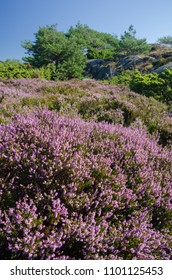 Norwegian landscape with flowering Heather (Calluna), Pines and boulders