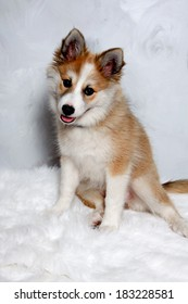 Norwegian lundhund dog is sitting and looking. Some people also call it a Norwegian Puffin Dog.