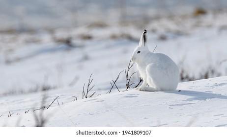 Norwegian ountain hare (Lepus timidus) in winter fur in snow