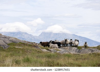 Norwegian sheep (villsau) are used for landscape management at coastal area in Nordland, Norway. They are adapted to local environmental conditions and can live outdoors year around.