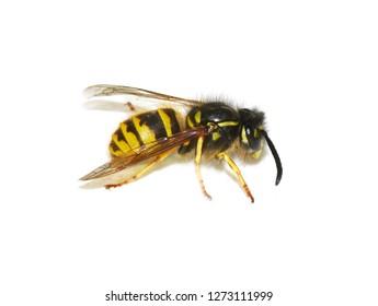 Norwegian wasp Dolichovespula norwegica on white background
