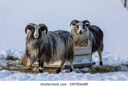 The Norwegian winter can be harsh for the animals that depend on finding food in nature. Fortunately the farmer helps with the feeding of these two Old Norwegian sheeps.