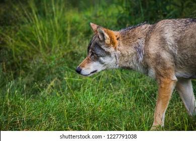 A norwegian wolf in green grass