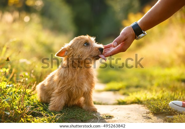 Norwich Terrier Puppy Licking Human Hand Stock Photo Edit Now 495263842