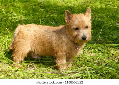Norwich Terrier stands in the green grass
