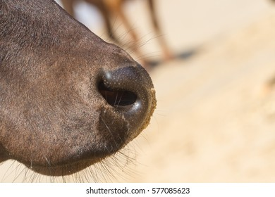 Nose black bull. Somewhere on the coast of India