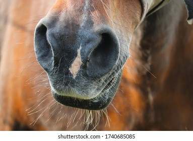 nose of a brown horse