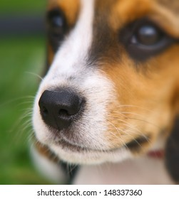 Nose of cute Beagle puppy in the grass