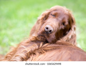 Nose of a cute lazy sleeping Irish Setter dog with blank, copy space