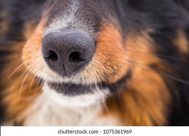The nose of a dog. Close-up. Copy space