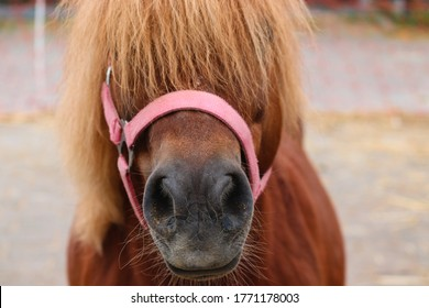 nose and face of a brown pony