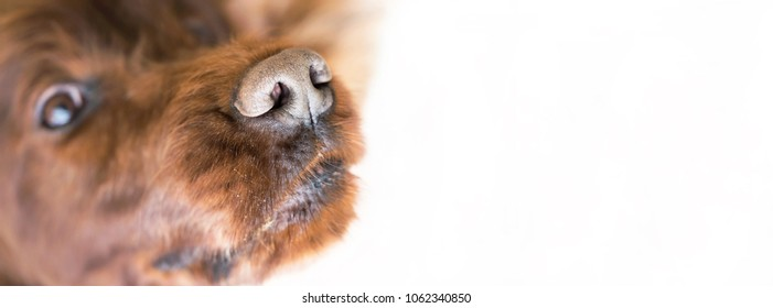 Nose of a funny Irish Setter dog