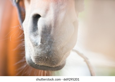 Nose of a horse close up