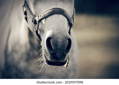 The nose of horse in halter in the paddock. Horse muzzle close up. Sporty stallions gray color in a halter in the levada.