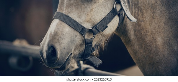 The nose of horse in halter in the paddock. Horse muzzle close up. Sporty stallions dun color in a halter in the levada.