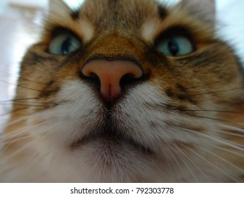 nose of a large Maine Coon cat or Siberian cat, weight 8 kg