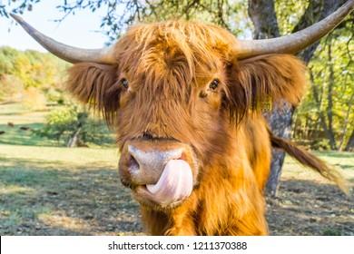 Nose licking scottish highland cow