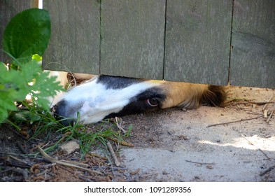 The nose and one eye of a Borzoi dog peeps out under a garden gate, the animal has a longing expression.