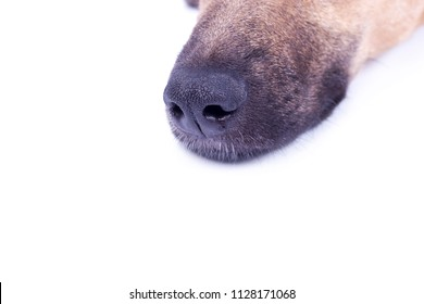 Nose red dog on white background. Dog's nose in profile isolate, free space