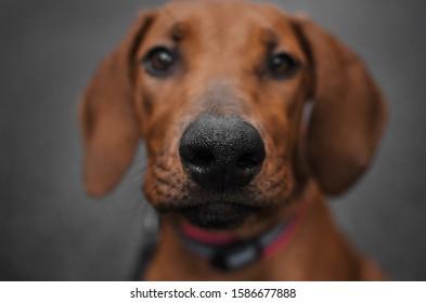 Nase eines rhodesischen Rätsel