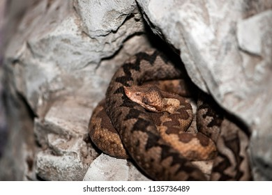 Nose-horned viper (Vipera ammodytes) is also known as horned viper, long-nosed viper, sand viper.
