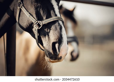 The noses of horses in halters in the paddock. The Muzzles of horses. Sporty stallions brown color in a halter in the levada. Portrait of a ports horse with a white groove on his muzzle. Horse muzzle