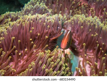Nose-stripe anemone fish in his anemone