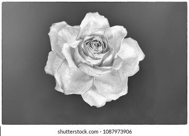 Nostalgic arty faded rose blossom, black and white, selective focus, white frame.